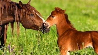 horse foal with mother